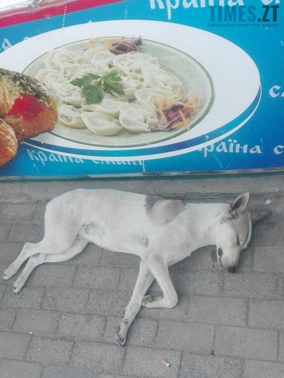 8 3 - «101 житомирський далматинець» або жорстокі реалії безпритульного собачого буття