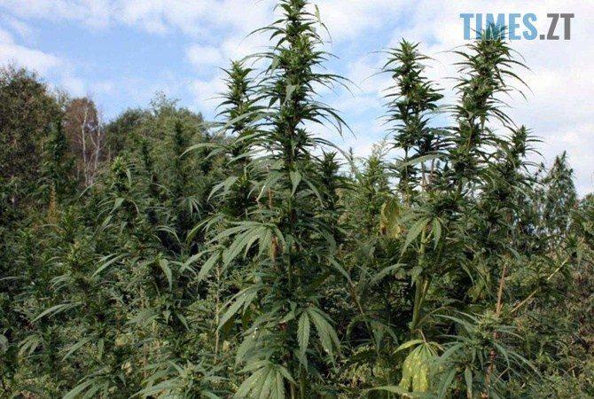 23996007 e1572621868931 - Поза законом: марихуана в Україні досі недосяжна тим, хто її справді потребує