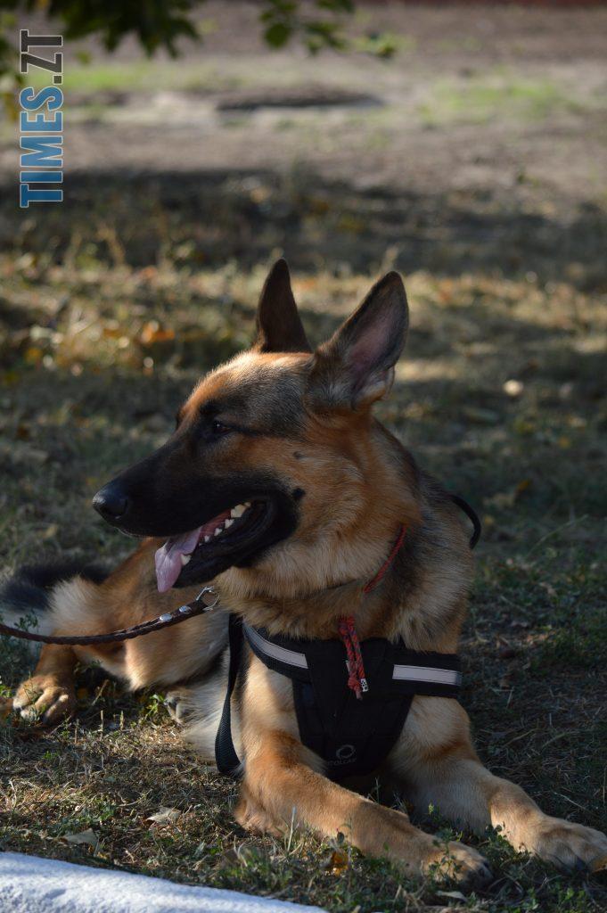 DSC 0005 1 e1568112889143 681x1024 - В Житомирі службові собаки змагаються в чемпіонаті з багатоборства кінологів (ФОТО)