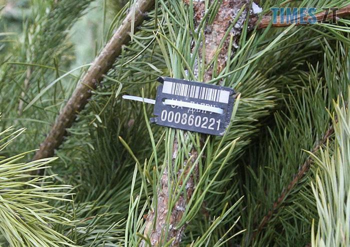 yalynka2 - Скільки коштуватиме новорічна ялинка у Житомирі