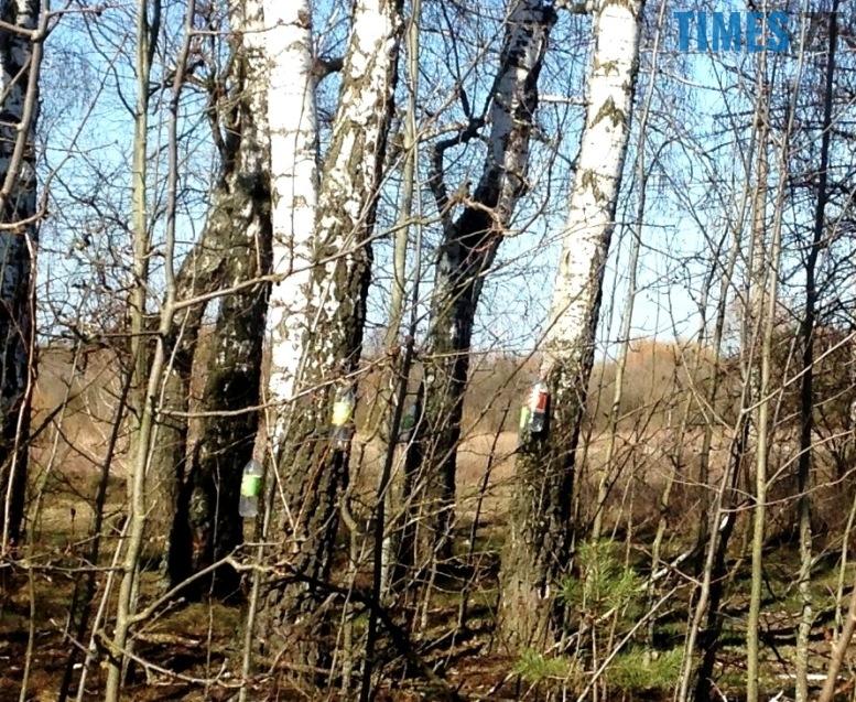 IMG 7006 - На Житомирщині триває сезон «полювання» на березовий сік