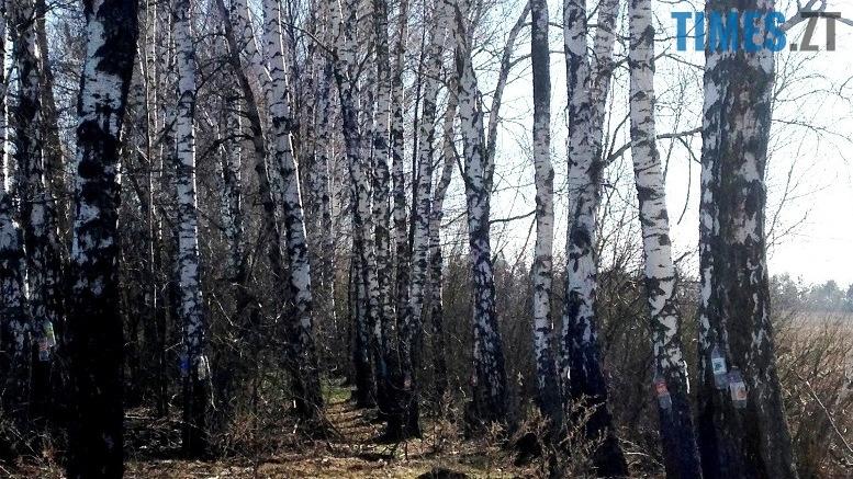 IMG 7007 - На Житомирщині триває сезон «полювання» на березовий сік