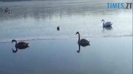 1 260x146 - У Житомирі врятували лебедів з крижаної пастки на Тетереві