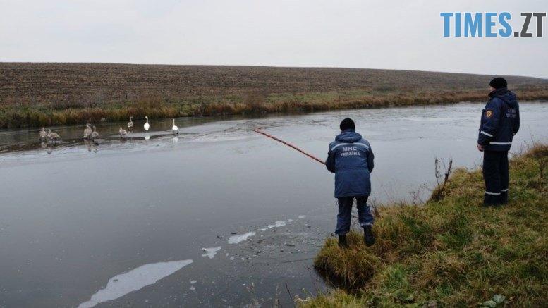 001 - У Ружинському районі врятували з криги вісім лебедів