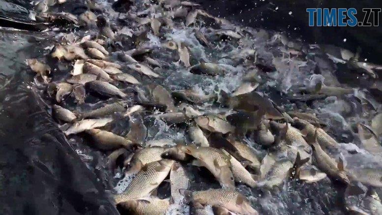 maxresdefault - Житомирське водосховище за кошти обласного бюджету зариблять амуром і товстолобиком