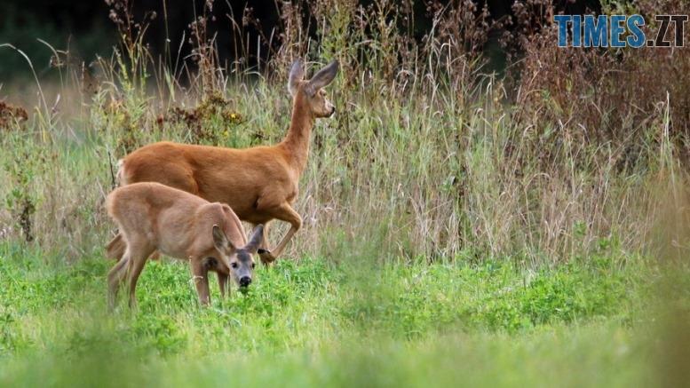 kosulya evropeiska - За вбивство козулі європейської житомирських браконьєрів можуть оштрафувати на понад 30 тисяч