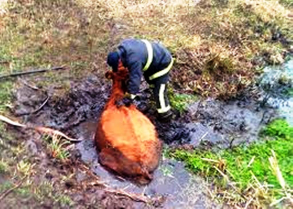 33 - Коростенські бійці ДСНС врятували корову, яка мало не втопилася в болоті