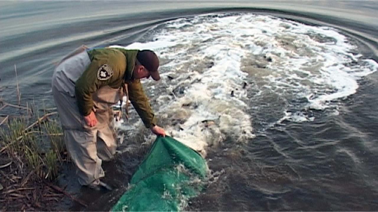 ryba - Майже 4 тонни риби тепер живе у Бердичеві (ВІДЕО)