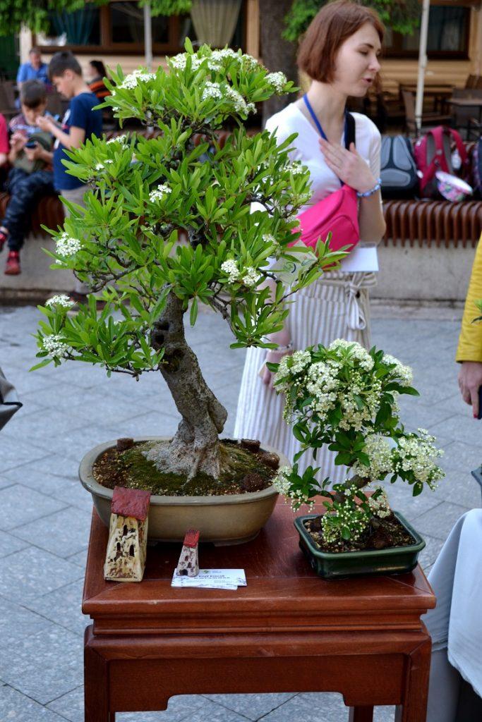 DSC 0772 683x1024 - Рендзю, бонсай, орігамі: справжні і несправжні японці на Михайлівській (ФОТО)
