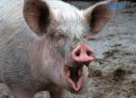 Screenshot 55 1 150x109 - Житомирщина входить до числа областей із найменшою кількістю спалахів африканської чуми свиней