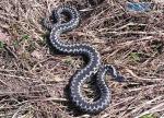 Screenshot 60 150x108 - Чергові напади: на Житомирщині два чоловіка потрапили до реанімації після зустрічей з отруйними зміями