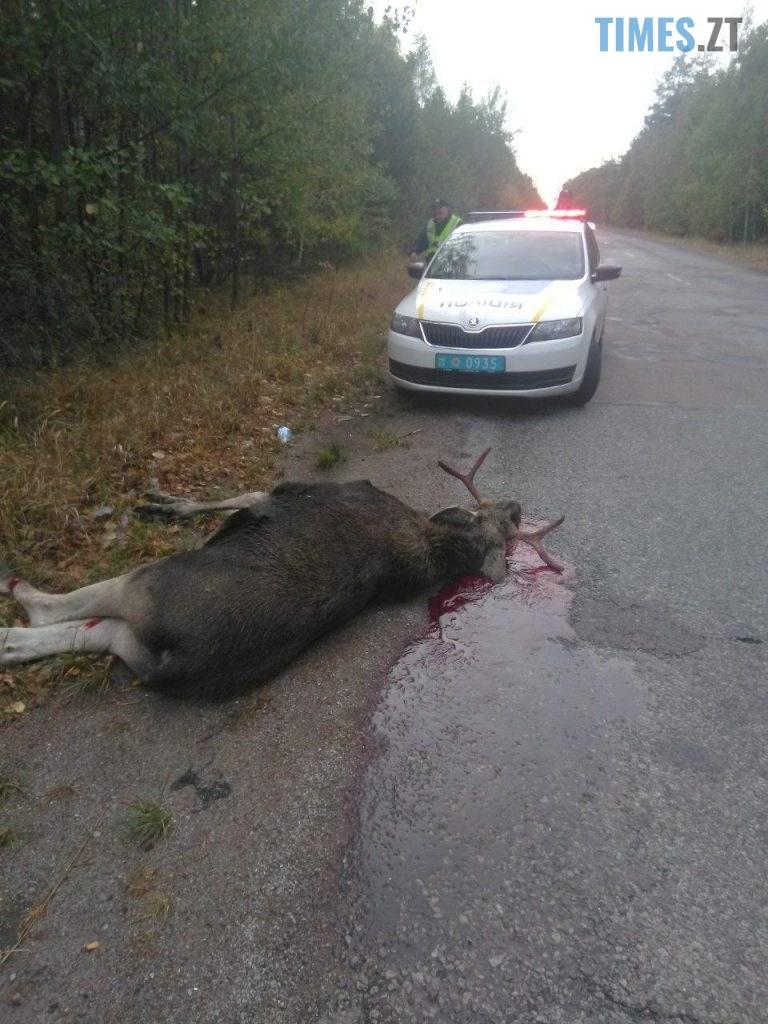1569918528 7923 768x1024 - На Житомирщині водій легковика вбив лося та втік з місця пригоди (ФОТО 18+)