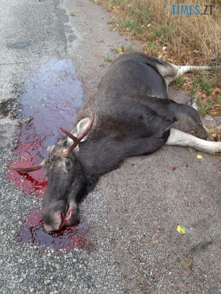 1569918529 2076 768x1024 - На Житомирщині водій легковика вбив лося та втік з місця пригоди (ФОТО 18+)
