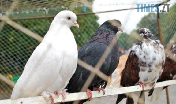 Qfu6amQRxX9Y7xTCxDth.r575x340 - Мешканців Житомирщини запрошують до Бердичева на виставку голубів