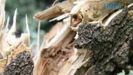 derevo ona.w575 260x146 - На Житомирщині дерево насмерть придавило чоловіка