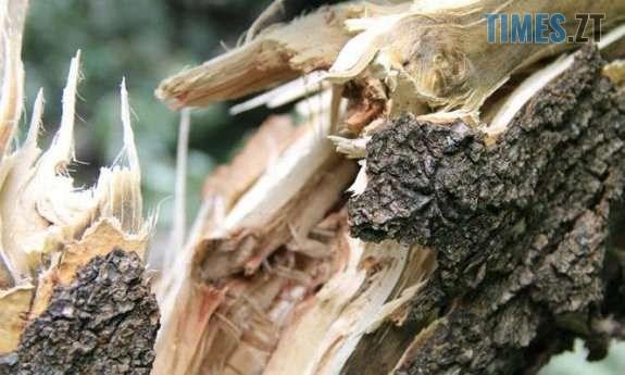 derevo ona.w575 - На Житомирщині дерево насмерть придавило чоловіка