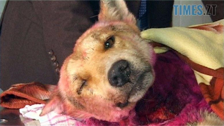 sobaka 777x437 - Ветеринари рятують покалічену нелюдами під Бердичевом собаку (ВІДЕО)
