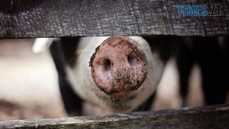 1556807902 svynia kurkul 36235 777x437 - В одному з сіл Житомирщини через несправний димар ледь не згорів свинарник з двома десятками свиней