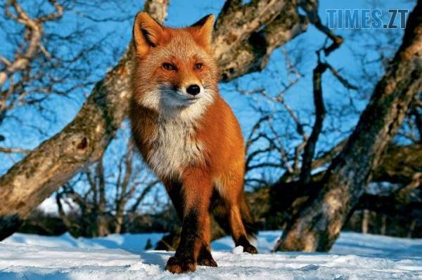 """Lisa - У Житомирі дика лисиця """"тероризує"""" жителів мікрорайону (ВІДЕО)"""