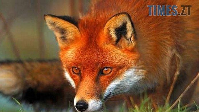 cropped 769a1870c644dd8fabaadc1b93fff7e2 - У Житомирському районі виявлено декілька випадків сказу у диких тварин, фахівці вводять карантинні обмеження