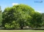 1596807142 0 zoom width 656 150x109 - У Житомирській області дерева, яким вже по дві сотні років, оголосять ботанічною пам`яткою