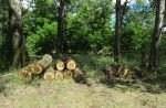 13541 150x98 - На Житомирщині чоловік зрізав понад 30 тополь у природному заповіднику