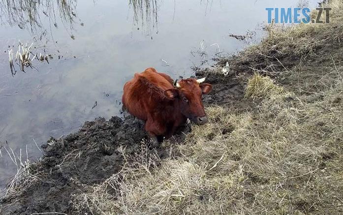 Screenshot 5 4 697x437 - В Овруцькому районі корова застрягла у в`язкому мулі водойми, тварину рятували надзвичайники