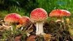 muhomor krasnyj foto 1 678x381 1 150x84 - Безпечне «тихе полювання»: які є отруйні гриби на Житомирщині?