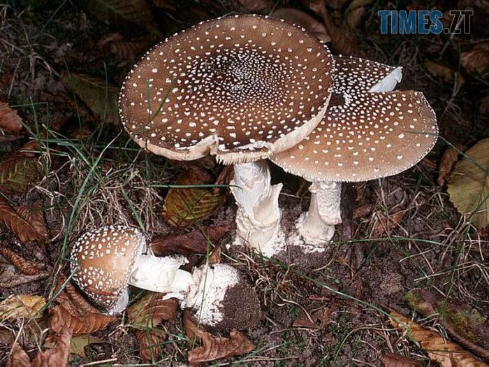 muhomor panternyj e1543592206511 - Безпечне «тихе полювання»: які є отруйні гриби на Житомирщині?