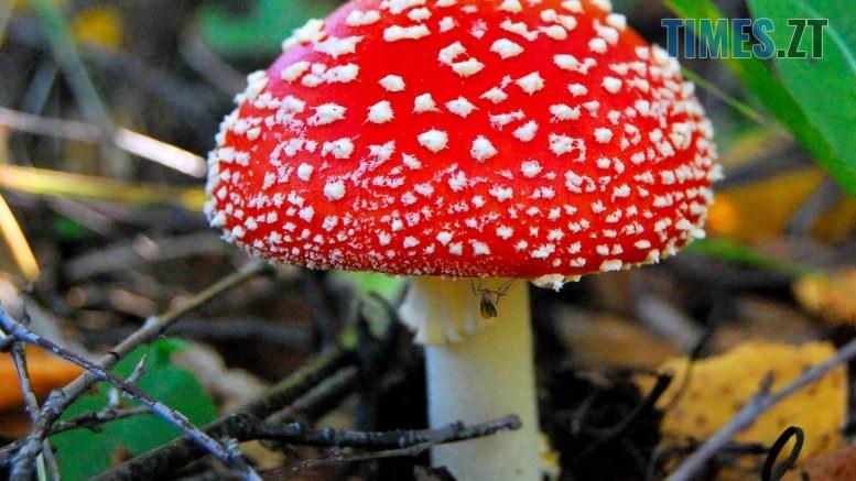muhomor krasniy 1 777x437 - На Житомирщині грибами отруїлася 2-річна дівчинка та 16-річний підліток