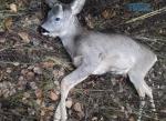 Screenshot 2 2 150x109 - Штраф у 32 тис грн сплатять браконьєри, які вбили козулю в Житомирській області